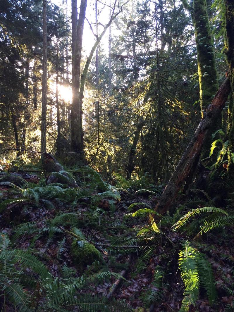 The sun peaks through the trees in the Grand Forest on Bainbridge Island.