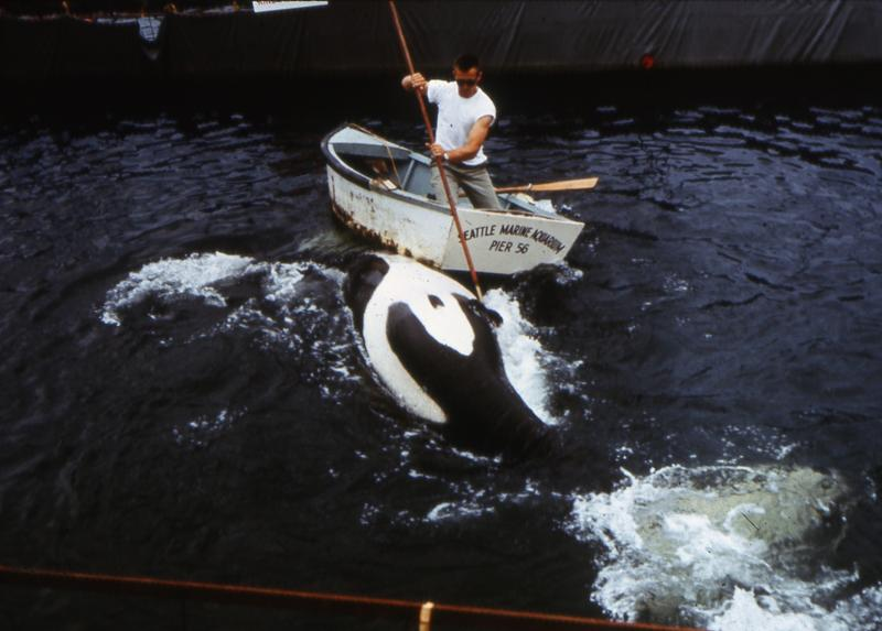 Orca hunter Ted Griffin works with Namu at his aquarium in Seattle in 1965.