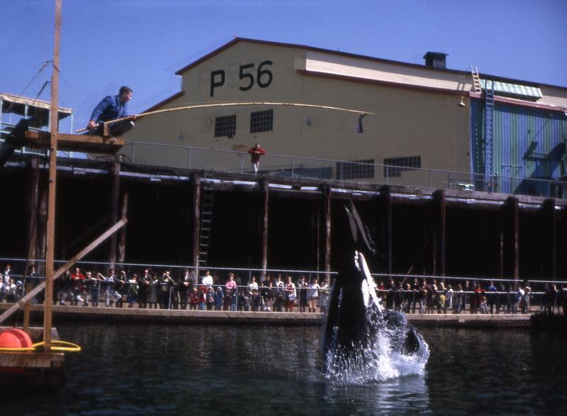 Namu performing at the Seattle Marine Aquarium on Pier 56 in Elliot Bay.