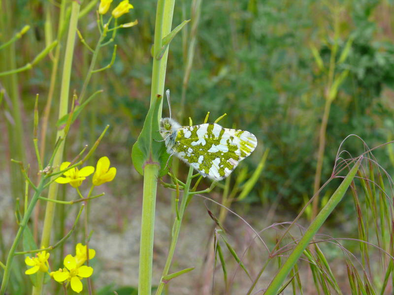 Ecologist Ted Thomas says the Island Marble butterfly seeks nectar from its primary larval food plant, the nonnative field mustard.