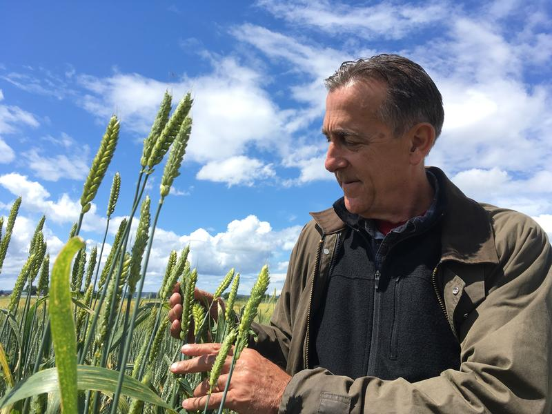 Stephen Jones in WSU's wheat field in Mt. Vernon, Washington.
