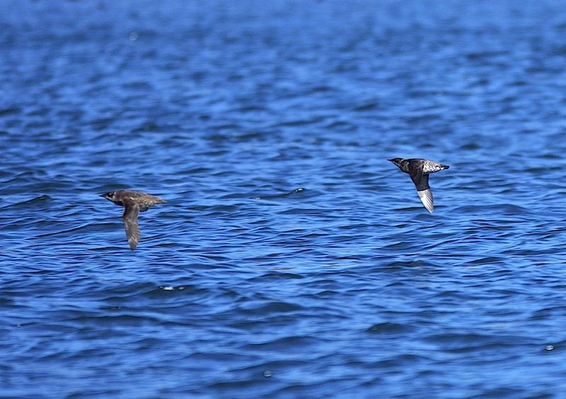 A marbled murrelet pair flying