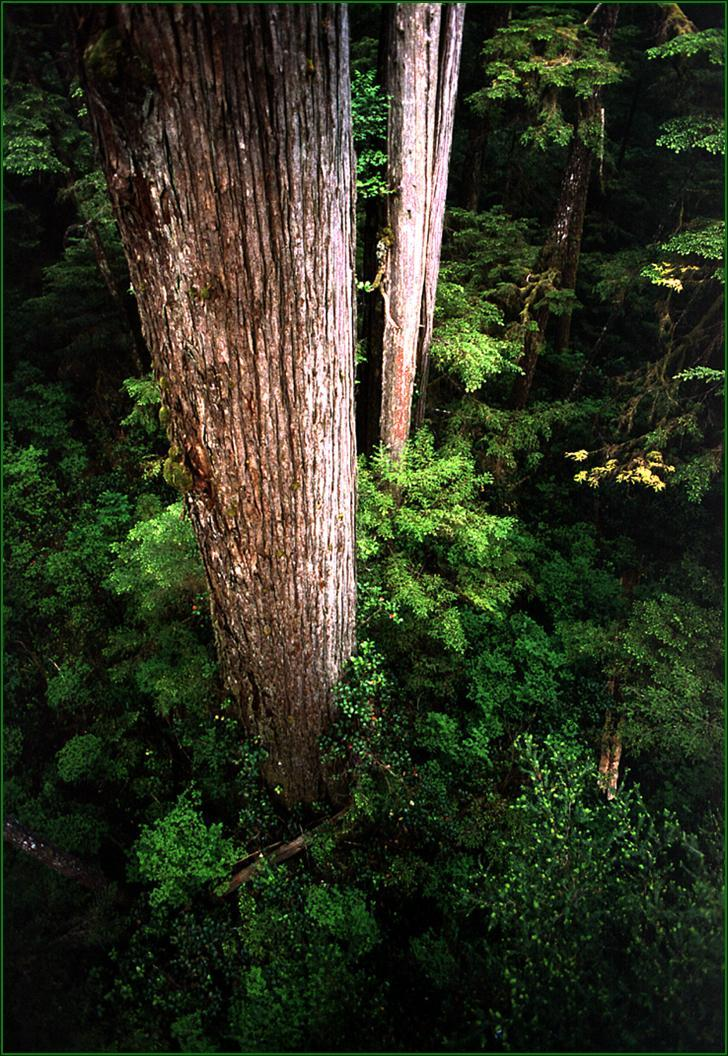 Old growth forest is the nesting habitat of the elusive seabirds. Scientists did not discover a nest till 1974.