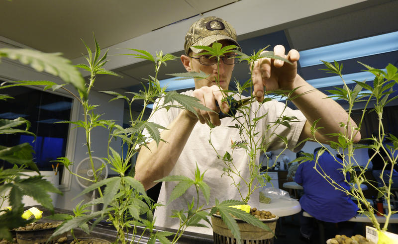 In this file photo from 2014, Mike Thrapp, head grower at Sea of Green Farms, a recreational pot grower in Seattle, trims damaged leaves from marijuana plants. The state is now planning to allow licenses to grow pot for scientific research.