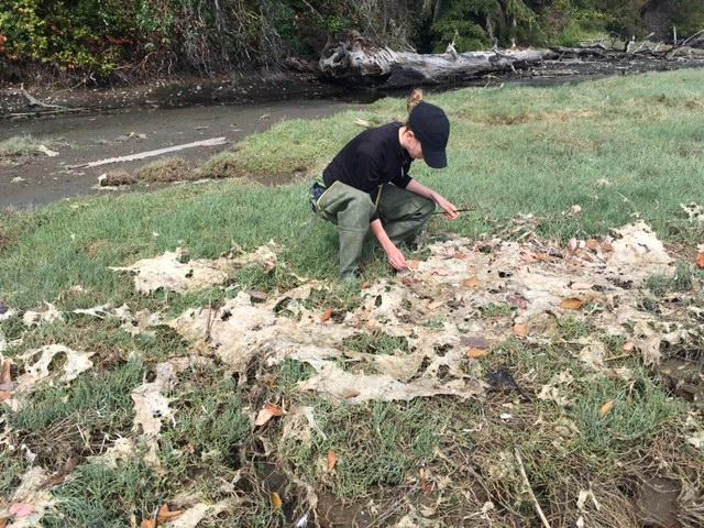 Grason checks the wrack line for molts of crab shells, another item they teach volunteers to identify.