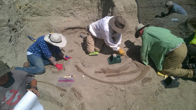 Burke Museum paleontologists remove rock surrounding T. rex ribs.  Credit: Photo by Larry Mose. Courtesy Burke Museum.
