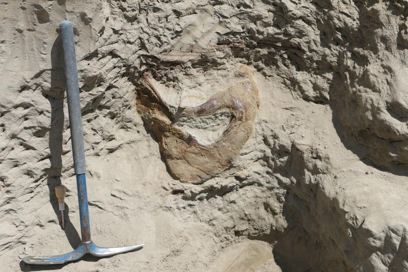 The back end (squamosal bone) of a T. rex skull discovered by Burke Museum paleontologists in Montana.  Credit: Photo by Larry Mose. Courtesy Burke Museum.