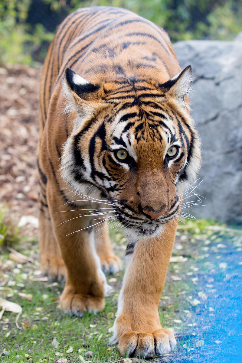 Malayan tiger at Woodland Park Zoo. Fewer than 350 Malayan tigers remain in the wild.