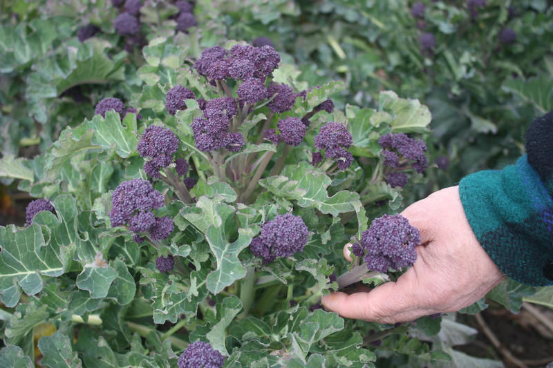 Purple sprouting broccoli is one of two crops the Organic Seed Alliance has identified as prime for overwintering, providing a possible new source of income for organic farmers in winter.