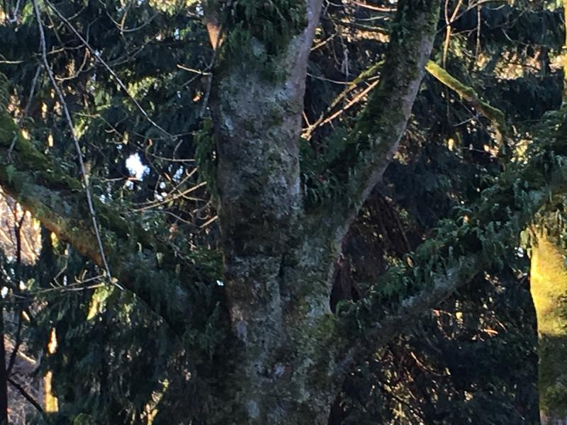The trees in this greenbelt near Mukiteo State Park need another 20-30 years before they would grow branches thick and high enough to provide the right habitat for murrelets, says Cantrell.