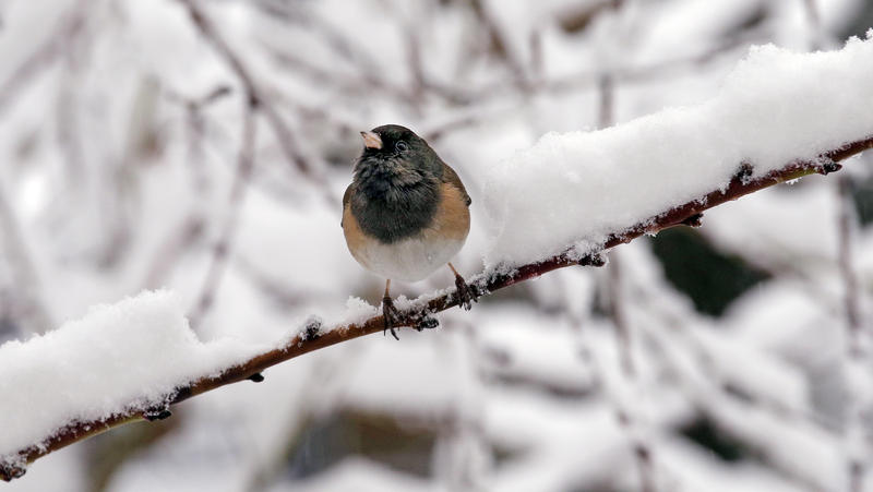 A dark-eyed junco finds room on an otherwise snow-covered branch during a winter storm moving through the area, Monday, Feb. 6, 2017, in Seattle.