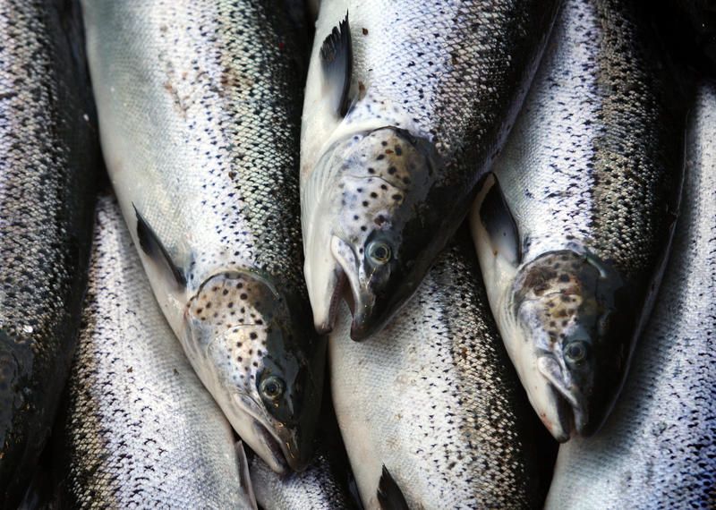 Farm-raised Atlantic salmon move across a conveyor belt by Cooke Aquaculture near Eastport, Maine. The company says damage by strong tides from Monday's eclipse caused the escape of Atlantic salmon at their facility in the San Juans at Cypress Island.