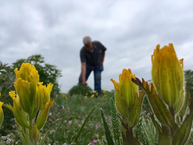 Robert Pelant, CEO of the non-profit Pacific Rim Institute on Whidbey Island, showing off some of the threatened Golden Paintbrush, a species they are bringing back by restoring native prairie lands.
