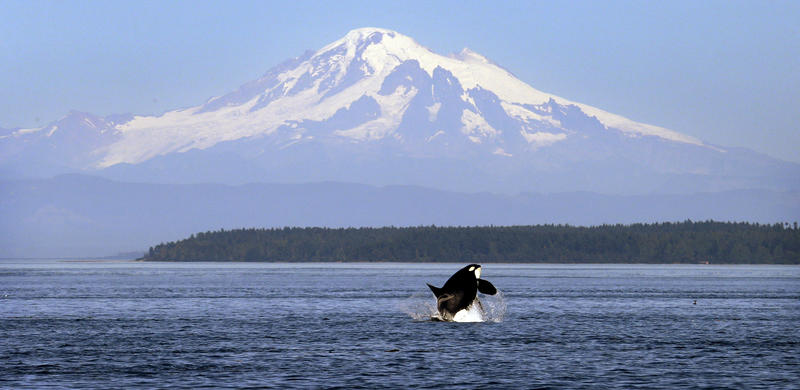 In this July 31, 2015, file photo, an orca or killer whale breaches in view of Mount Baker, some 60 miles distant, in the Salish Sea near the San Juan Islands, Wash.