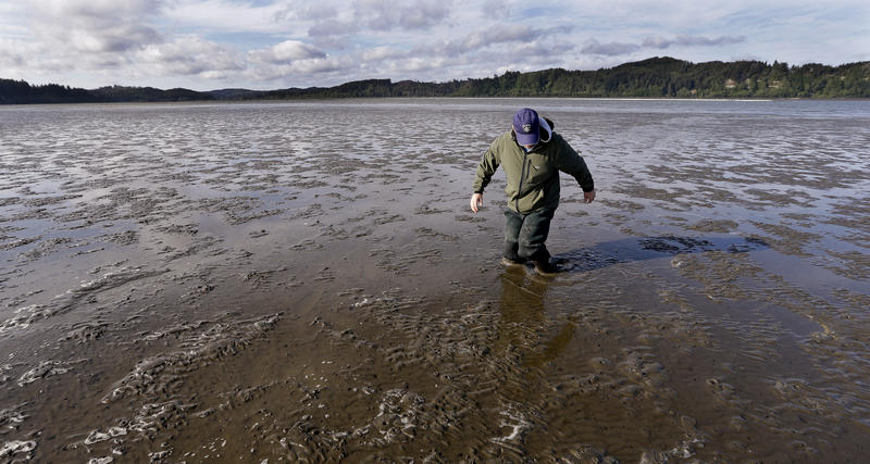 Burrowing shrimp have turned this oyster bed into deep mud  that resembles quicksand at low tide in this filed photo from May 1, 2015, in Willapa Bay near Tokeland, Wash.