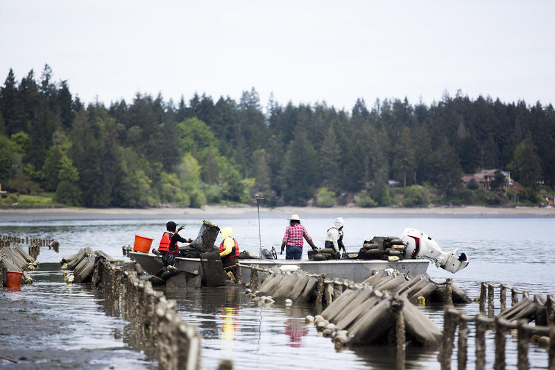 Workers at Chelsea Farms in Olympia, Wash. load oysters onto boats.