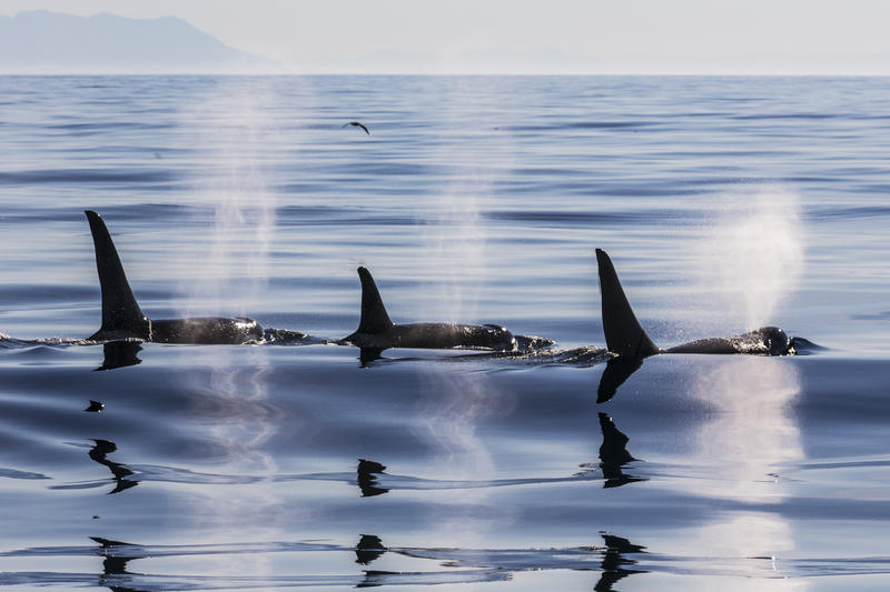 Orcas  traversing the Salish Sea.