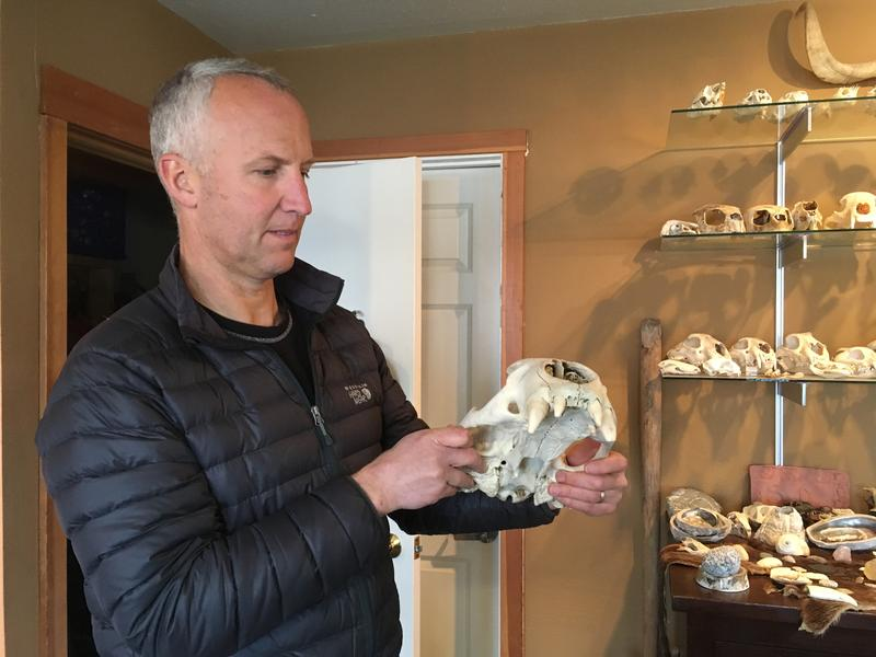 Joe Gaydos admiring the skull of a Steller Sea Lion in his office at SeaDoc on Orcas Island.