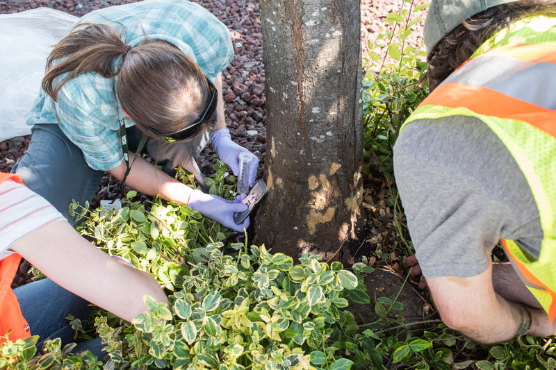 WSDA Pest Program staff remove egg masses from infested tree.