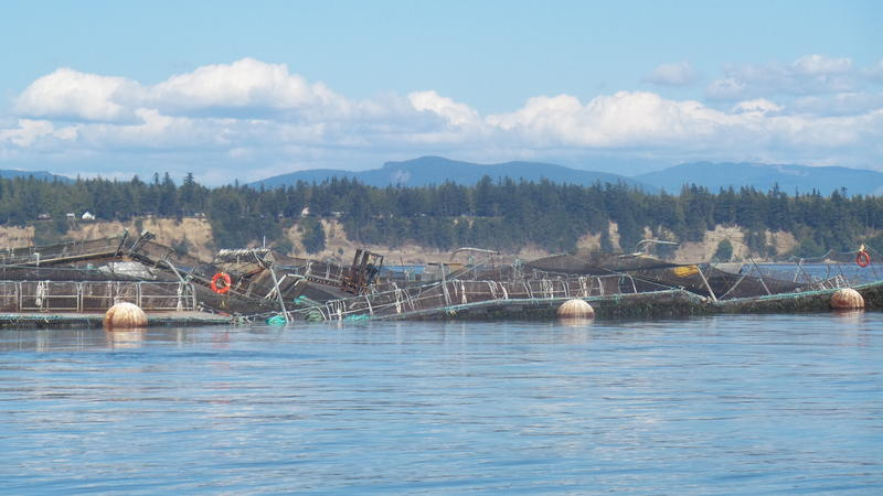 Cooke Aquaculture's Cypress Island Atlantic salmon net pen operation after its collapse in August 2017.