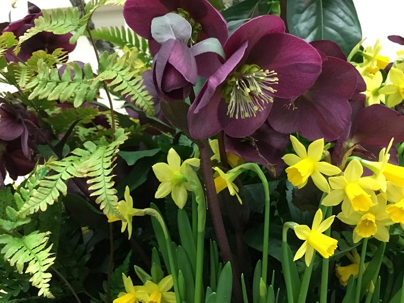 Hellebores are featured in many of the display gardens at the Northwest Flower and Garden Festival