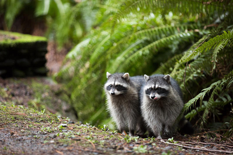 Raccoons at Point Defiance Park in Tacoma, Washington.