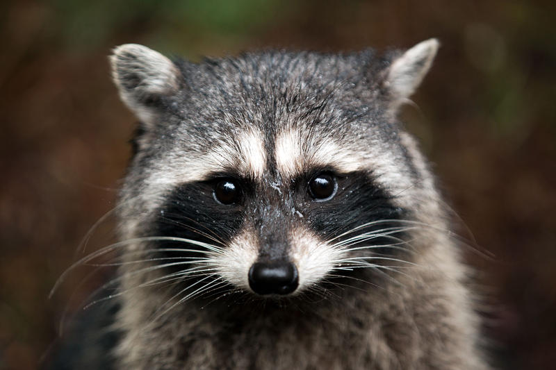 A raccoon at Point Defiance Park in Tacoma, Washington.
