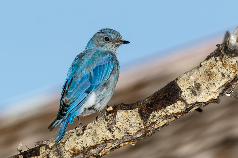 Mountain bluebirds are among the iconic species expected to show up less or not at all in Washington's national parks by 2050 because of climate change, says a new study by scientists at the National Parks Service and the Audubon Society.