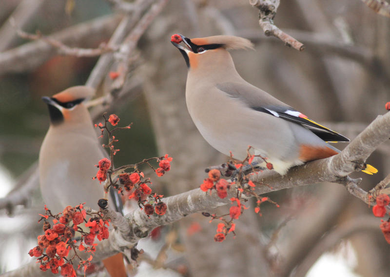 Bohemian waxwings feed on mountain ash berries on Friday, Feb. 20, 2015, in Anchorage, Alaska. They are among 189 species that frequent Washington that Audubon says are at at risk due to climate change.