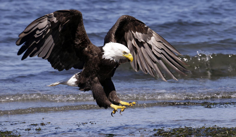 A bald eagle lands on a beach on a warm and sunny Monday, June 8, 2015, in Seattle. Bald eagles are among the birds that will lose at least half of their current range by 2080 because of climate change, says Audubon.