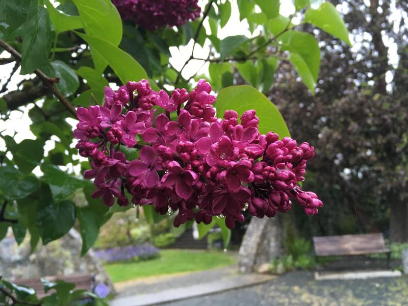 Blossoms of May in Sooke, BC in 2017.
