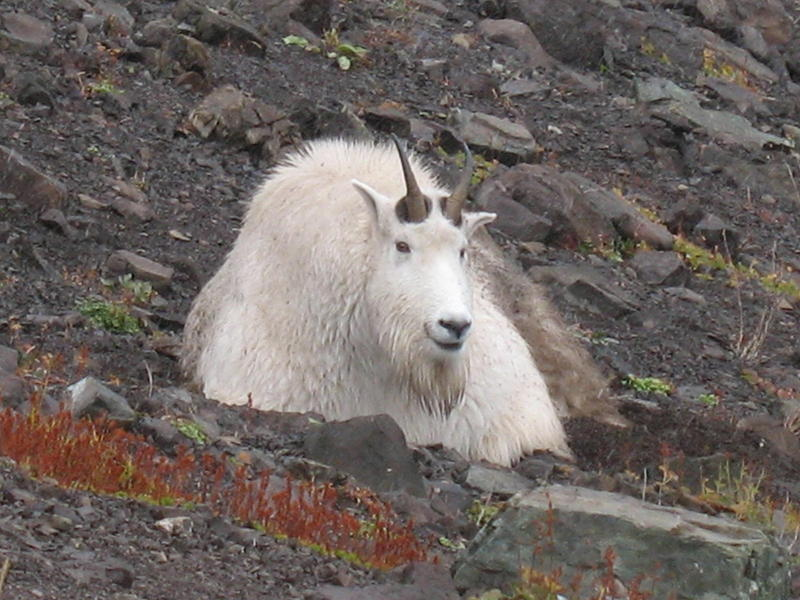 A male bily goat in Olympic National Park, where they are not native and the population is growing steadily. A proposed management plan would aim to remove all of them from the Olympic Peninsula, through reloacation and then by lethan means.