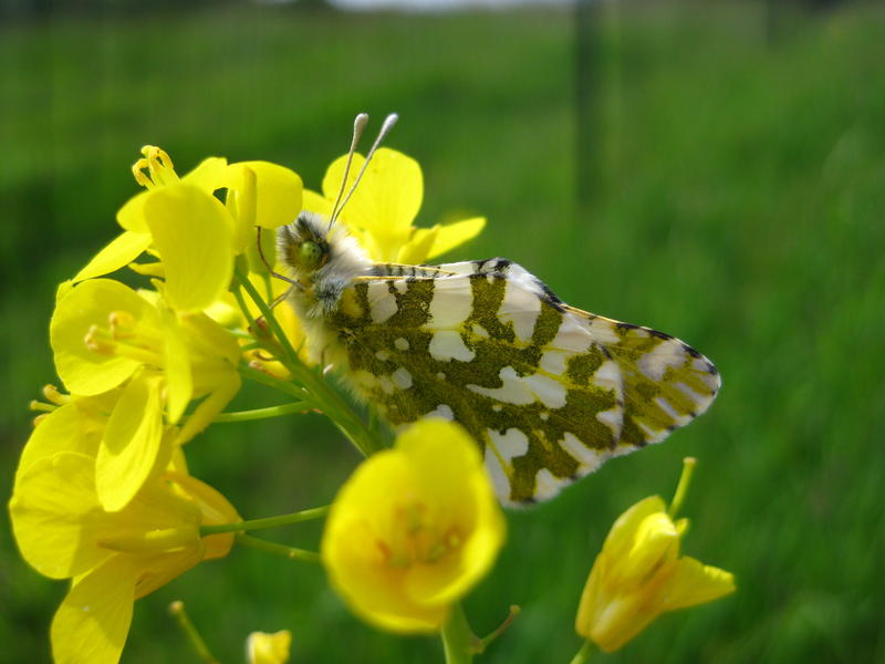 A rare island marble butterfly on a mustard plant on San Juan Island, where the last population is believed to number fewer than 200. The US Fish and Wildlife Service is proposing listing them as an endangered species to prevent them from going extinct.