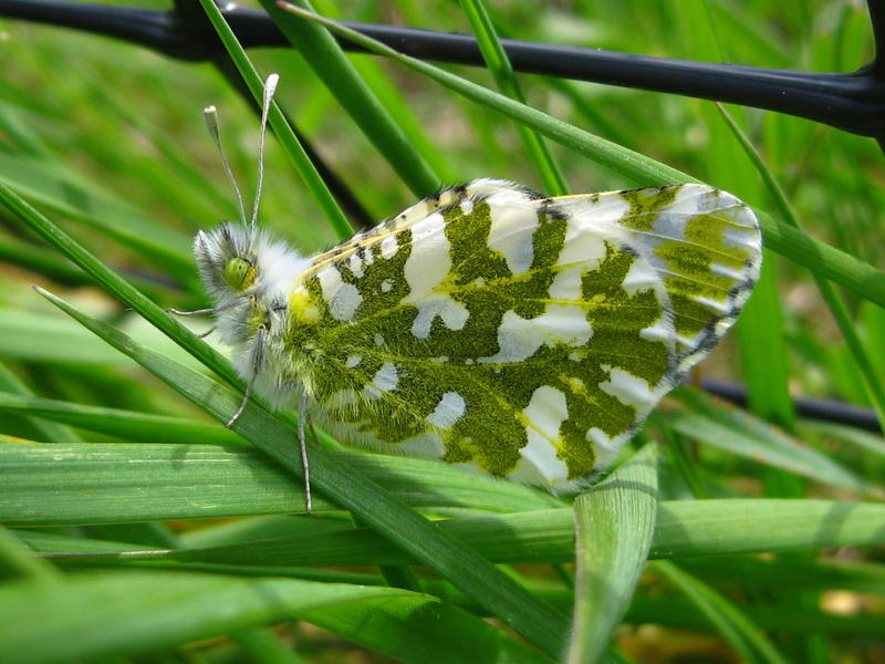 A rare island marble butterfly, as seen on San Juan Island, where the last population is believed to number fewer than 200. The US Fish and Wildlife Service is proposing listing them as an endangered species to prevent them from going extinct.