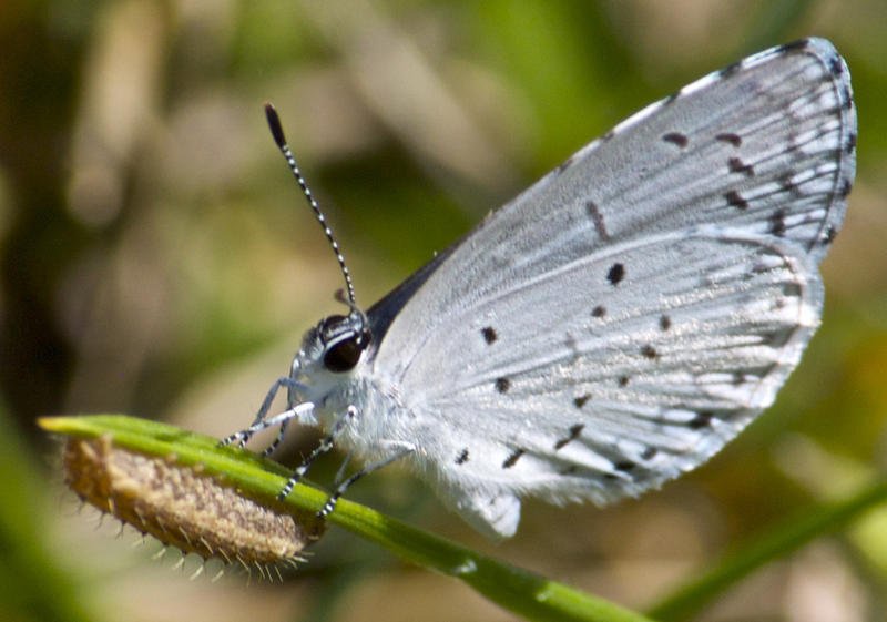 METAMORPHOSIS (SPRING AZURE BUTTERFLY WITH A CATERPILLAR!) BY DAVID DEHETRE IS LICENSED UNDER CC 2.0 BIT.LY/2PIZF7U