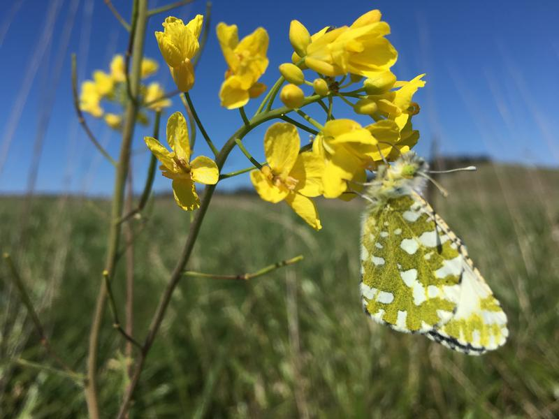 The rare Island Marble Butterfly on a field mustard plant near American Camp on San Juan Island. This is SI10, raised by National Park Biologist Jenny Shrum. It is the first of the adults reared in captivity to be released in the wild, on May 7, 2018.