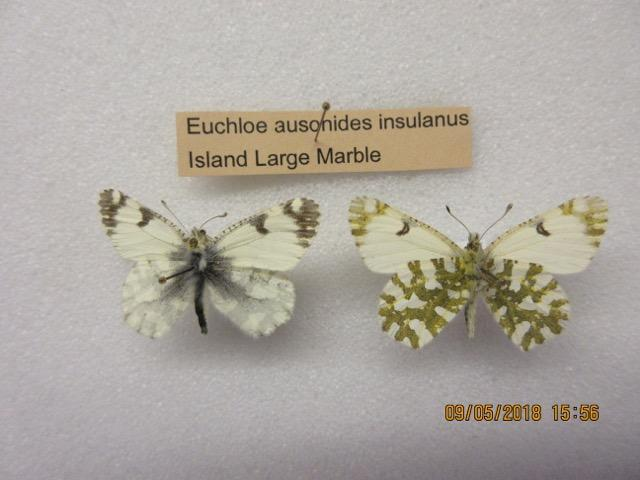 The specimens that indicated the rediscovery of the Island Marble Butterfly, collected by John Fleckenstein in 1998.