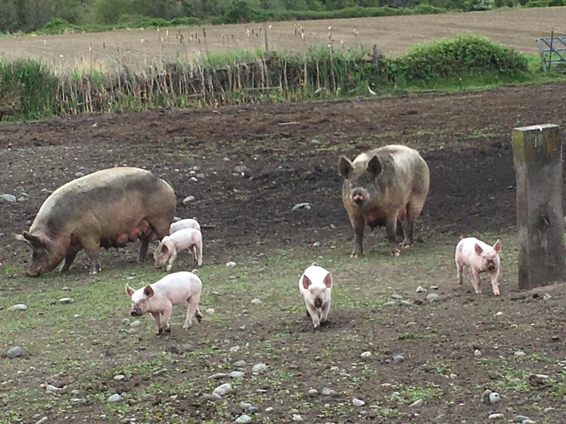 Sows and piglets enjoy a special pasture till they're weaned, at the Delta Farm, Nash's Organic Produce in Sequim, Wash. in February 2018.
