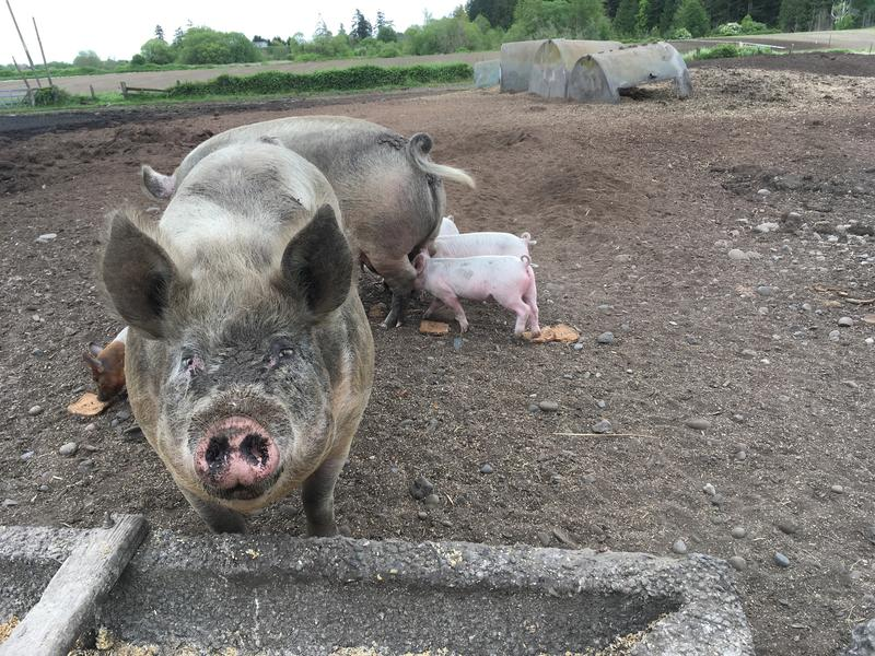 A sow at Nash's Organic Produce in May 2018.