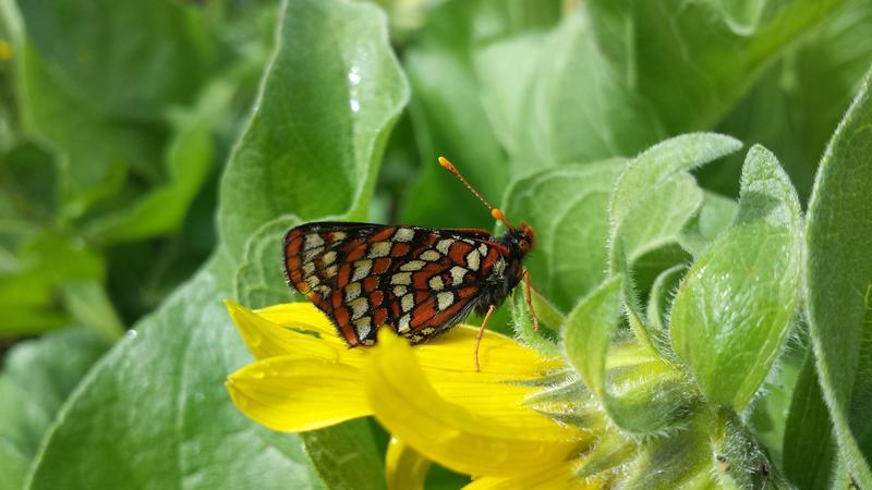 The Taylor's checkerspot butterfly, photographed at Scatter Creek, is one of the endangered species that people will learn about and look for during Saturday's bioblitz in Tenino, Wash.