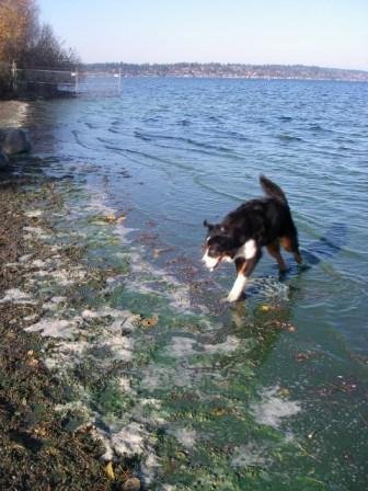 Green algae at Madrona Beach, Lake Washington. Dogs can be extremely vulnerable to poisoning because they will lick toxic algea from their fur after swimming.