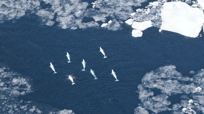 Melting sea ice frames migrating beluga whales in the Arctic