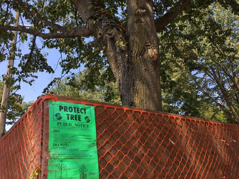 A street tree in Seattle's Fremont neighborhood is protected from development on an adjacent lot.
