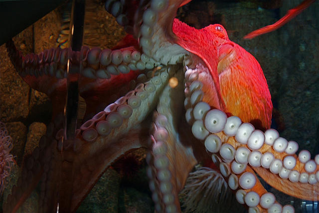 A Giant Pacific Octopus, similar to the one harvested by Dylan Mayer on October 31, 2012.