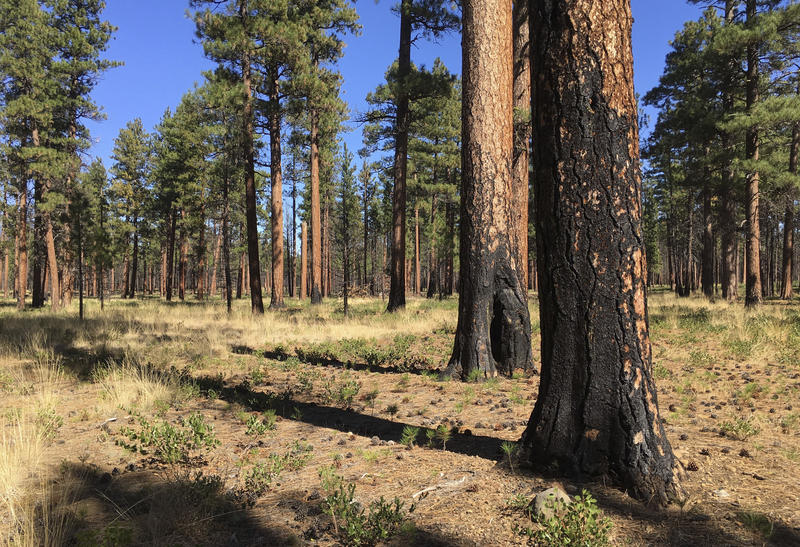 Charred trunks of Ponderosa pines near Sisters, Ore., in Sept., 2017, months after a prescribed burn removed vegetation, smaller trees and other fuel ladders last spring. The thinning of forests in central Oregon has saved homes amid devastating wildfires