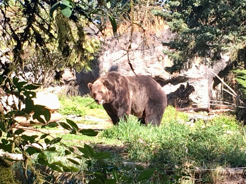 A grizzly bear on Sept. 19, 2018 at Woodland Park Zoo, where officials urged more people to sign their campaign urging repeal of proposed changes to the Endangered Species Act. Grizzlies are one of 48 species protected under the law in Washington State.