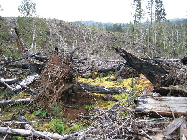 Slash such as the branches and stumps shown here in Wishkah, Washington could be used for sustainable biofuels. A new study from the Commissioner of Public Lands says market use of such biomass could double without any impacts to forest sustainability.