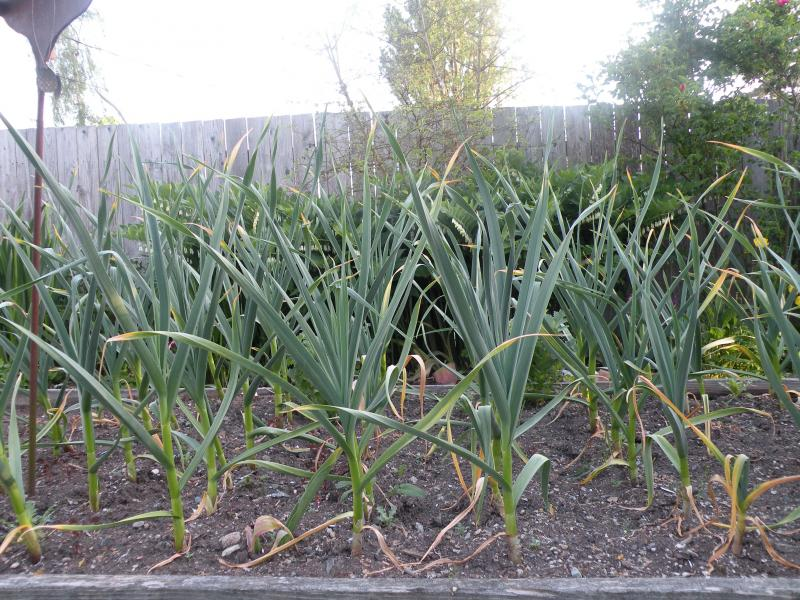 The latest Garlic Cam shot.  Two and a half feet tall as of the May 14th.  It won't be long now.