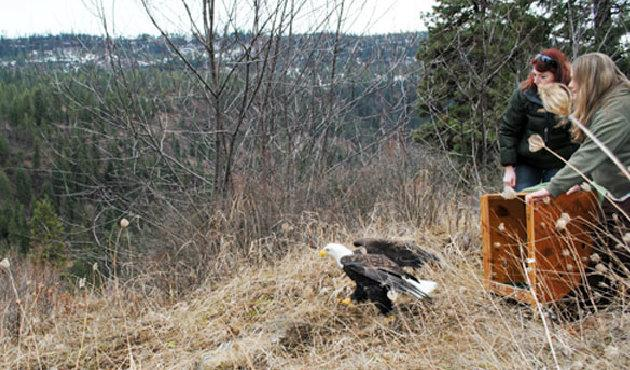 The bald eagle saved by reserachers.