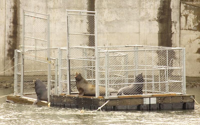 2008 file photo shows several seal lions sitting in two traps on the Columbia River near the Bonneville Dam shortly before the doors are closed.